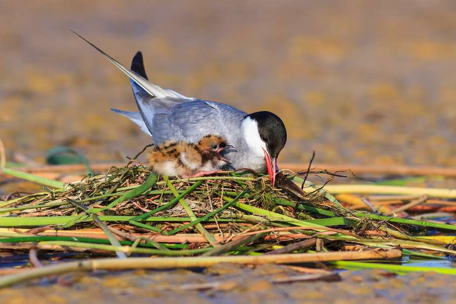 common tern nesting on remediated superfund site on great lakes