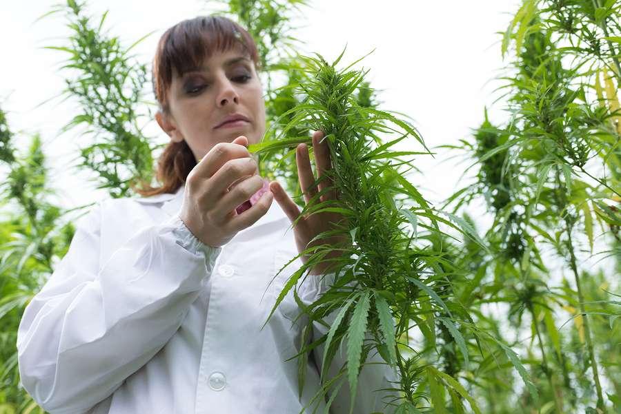 Female scientist in a hemp grow-op greenhouse