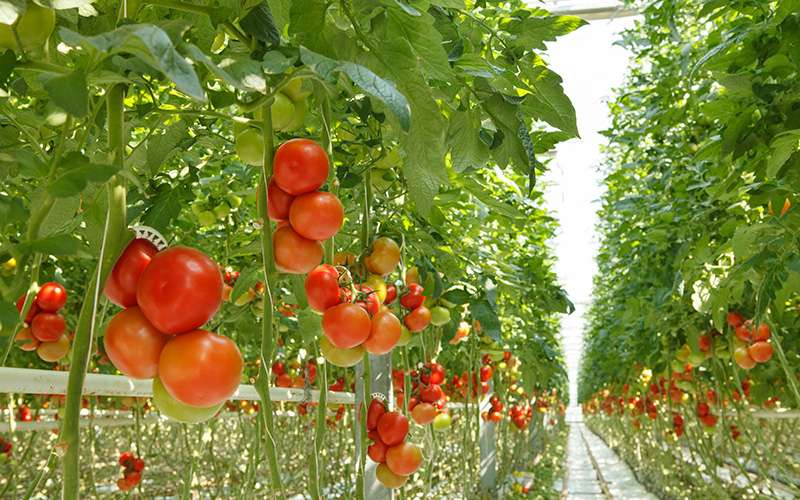 greenhouse tent tomatoes